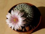 Купить кактус Solisia