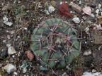 Echinocactus horizonthalonius RUS-001, Pozos, GTO