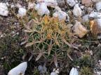 Ferocactus latispinus (yellow sps) Guanajuato, Mineral de Pozos RUS-001