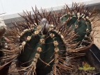 Astrophytum crassispinum cv.Taiho Japan