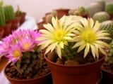 Купить кактус Mammillaria