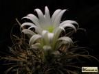 Toumeya papyracantha SB330 Sandoval Co, NM