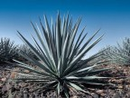 Agave tequilana RUS 107 Mexicó