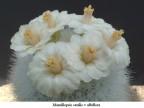 Mamillopsis senilis v albiflora