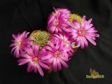 Sulcorebutia flawissima HS 48