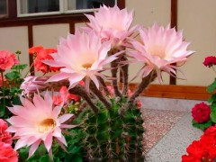 Echinopsis werdermannii