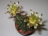 Купить кактус Gymnocalycium