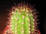 Купить семена Trichocereus