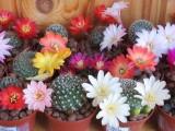 Купить кактус Rebutia