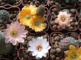 Купить кактус Mediolobivia