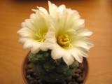 Купить семена Strombocactus