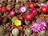 Купить кактус Sulcorebutia