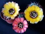 Купить кактус Lobivia