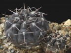 Gymnocalycium striglianum var. aeneum VG-407, Sa del Gigante, San Luis,741m