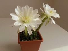 Echinopsis semidenudata KK1273
