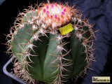 Купить семена Melocactus
