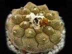 Copiapoa hypogaea cv. 'Lizard Skin'