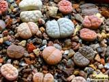 Купить семена Lithops (Живые камни)