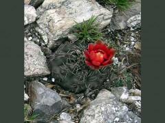 Gymnocalycium baldianum VG-349, El Arenal, Catamarca, 1095м
