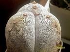 Astrophytum myriostigma 'Onzuka' 3rx4r