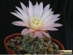 Gymnocalycium amerhauseri LF 89 Sierra Chica - velké bílé květy