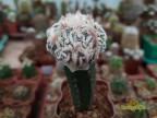 Astrophytum myriostigma Hakujo Fukuryu Rampow