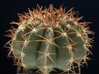 Melocactus brederoianus MG 973