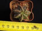 Astrophytum myriostigma 'YOROI' nudum
