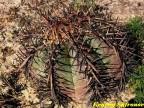 Echinocactus horizonthalonius  RUS 451,  Mina, Nuevo Leon