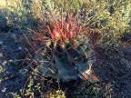 Hamatocactus hamatocantus RUS-503, Tanquecilos, NL