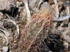 Thelocactus bicolor v.bolansis RUS-511, Sierra De Parras, Coah