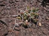 Купить кактус Maihueniopsis