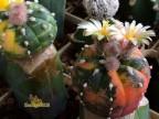 Astrophytum asterias vareigata