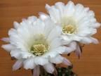Echinopsis hybrid 'Elegant Lady'