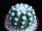 Echinopsis subdenudata cv.Fuzzy Navel