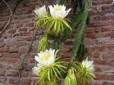 Купить кактус Hylocereus