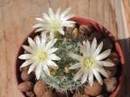 Mammillaria tezontle