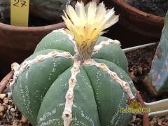 Astrophytum myriostigma 'Fukuryu Rokkotsu' (white rib)
