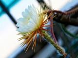 Купить кактус Selenicereus