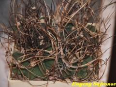Astrophytum crassispinum 'Soccoro'