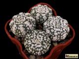 Купить семена Astrophytum cultivar