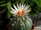 Astrophytum asterias  v. nudum