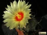 Astrophytum niveum P 270, Cuatro Cienegas