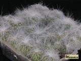 Купить семена Cephalocereus