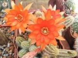 Купить кактус Chamaecereus