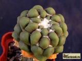 Купить кактус Cintia