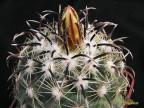 Coryphantha kracikii MS 368  Buen Dia Dur