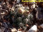 Coryphantha delaetiana,  Coahuilla, Rancho Las Pacas RUS-347