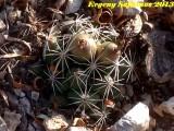 Купить семена Coryphantha
