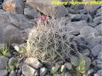 Coryphantha macromeris, Durango, Las Laborcitas RUS-399